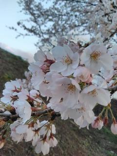 くみこウォーキング7今朝白公園桜.jpg